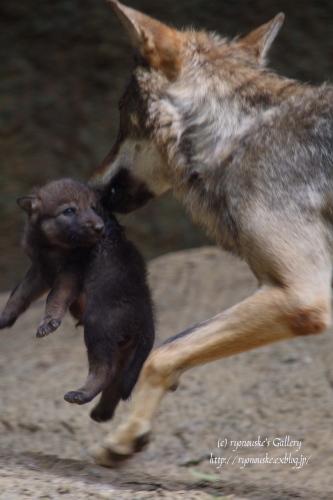 タイリクオオカミの出産♪_f0031022_0262688.jpg