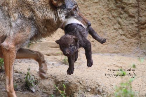タイリクオオカミの出産♪_f0031022_026624.jpg