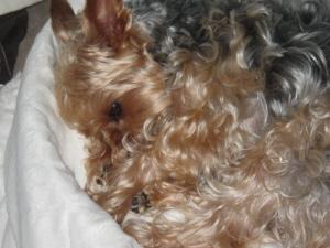 軽く丸めてある真っ白なベッドカバーの中にうずくまって、寝付こうとしているラッキー。身体を丸めて横になっているので、毛皮の塊のように見えます。うっすら目を開けて・・・・。