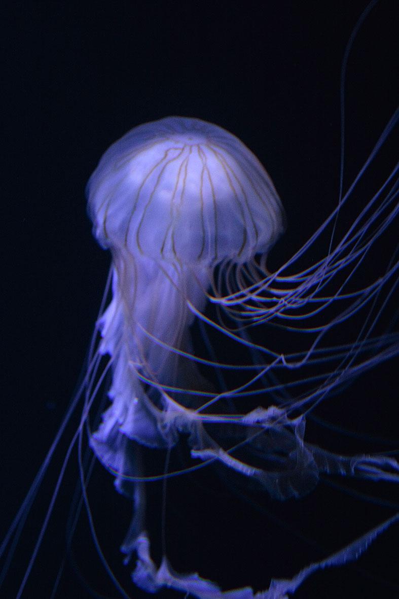 クラゲの画像 p1_40