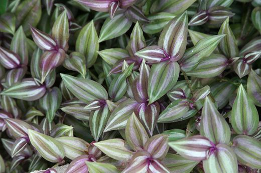 ツユクサ科(Commelinaceae)_d0096455_13305421.jpg