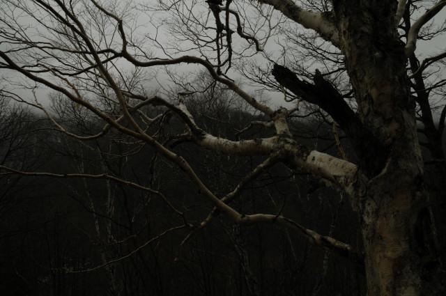 太い大きな白樺の木の枝が奥の方にググッと伸びています。背景も白樺林なんですよ。