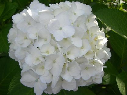 白い紫陽花_b0105897_2181338.jpg