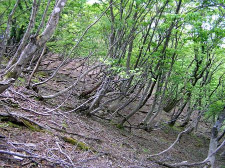駒ヶ岳 ブナ林_e0048413_2136490.jpg