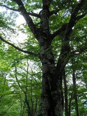 駒ヶ岳 ブナ林_e0048413_21372470.jpg