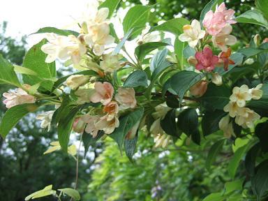 金時山の花  Vol 19_e0024094_14333266.jpg