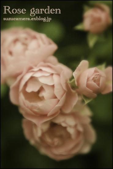 薔薇の香りにつつまれて_f0100215_2345431.jpg