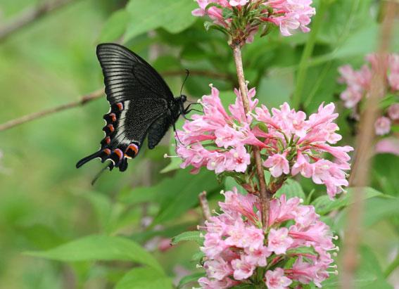 ☆タニウツギでの吸蜜・・・ミヤマカラスアゲハ。6月8日晴れ後雨お天気が良... 6月の蝶:6月8