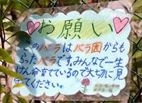 子供達のバラが咲きました_a0094959_054869.jpg
