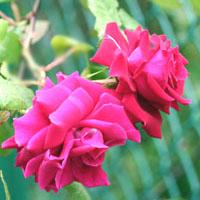 子供達のバラが咲きました_a0094959_11562074.jpg