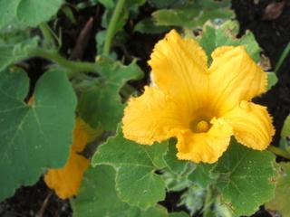 カボチャの花とバジル、ほか_c0110869_15523791.jpg