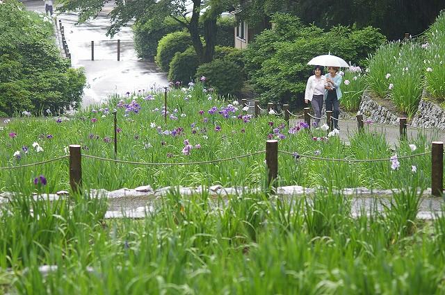 雨の花菖蒲園~金沢・卯辰山_d0043136_1653236.jpg