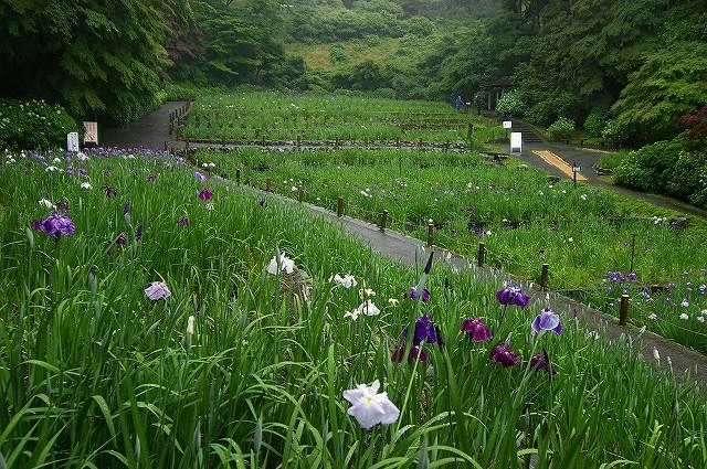 雨の花菖蒲園~金沢・卯辰山_d0043136_16535119.jpg
