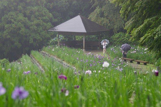 雨の花菖蒲園~金沢・卯辰山_d0043136_16581447.jpg