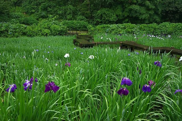 雨の花菖蒲園~金沢・卯辰山_d0043136_17564166.jpg