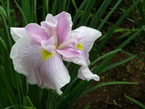 花菖蒲の植え付け_f0043750_20719100.jpg