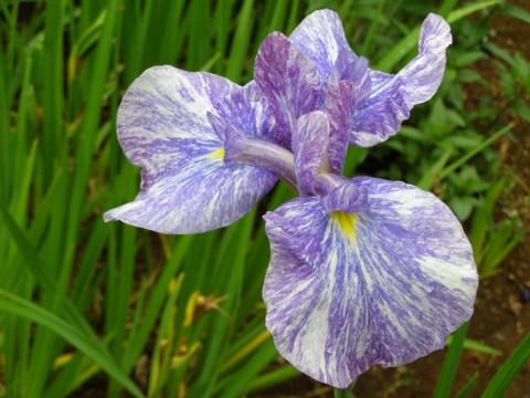 花菖蒲の植え付け_f0043750_208112.jpg