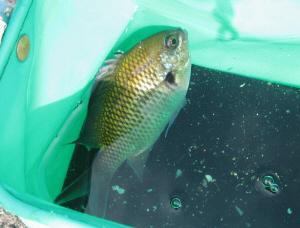 名前がわかりませんが鯛のようにも見える魚です。ビニールのミニばけつの中で泳いでいます。