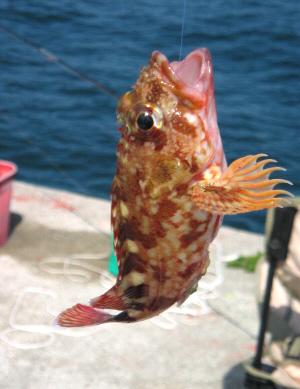 まだ針から外していない関西ではガシラと呼ばれるカサゴ。大きな口を開けて吊り下げられています。赤っぽいまらだ模様の綺麗な魚です。