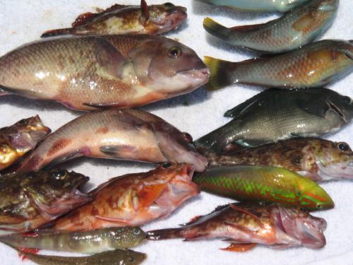 大小様々な種類の魚を並べて撮った一枚。一際大きいのがこぶダイです。