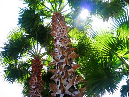 中庭の椰子の木。大きく伸びて開いた葉は正に天然のパラソルです。陽射しを完全にさえぎってくれて上を見上げても眩しくありません。