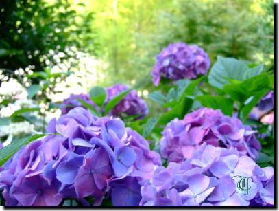 6月11日紫のあじさい