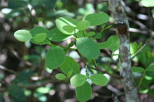 ハマザクロ科(Sonneratiaceae) : えるだまの植物図鑑