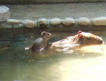 ちみカピ3週目(1)ちみカピみんなと泳いでます_f0138828_22413785.jpg
