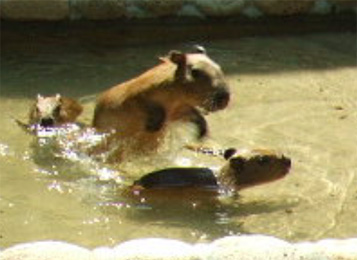 ちみカピ3週目(1)ちみカピみんなと泳いでます_f0138828_22415282.jpg