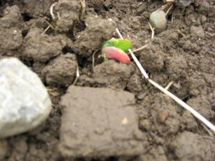 大豆の芽が出ましたよ!_e0061225_1024690.jpg