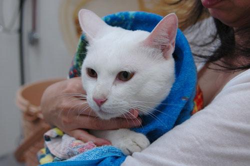 緊急!白猫さんのおうち募集!_d0084952_1719403.jpg