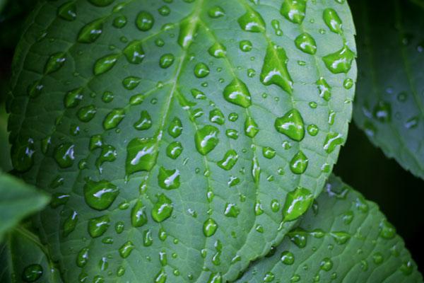 Leaves with raindrops_b0081177_21161861.jpg