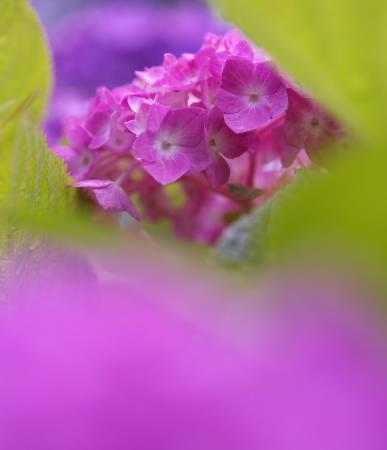 紫陽花園(太閤山ランド)_e0126642_14271232.jpg