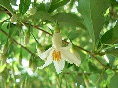 エゴの花、上のほうは満開_f0019247_104593.jpg