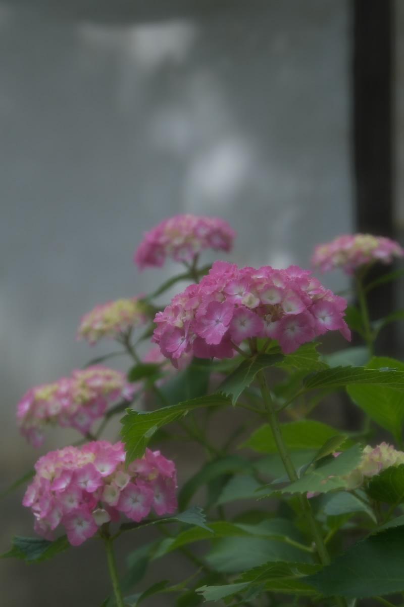 奈良 矢田寺 <紫陽花> 1_f0021869_20104652.jpg