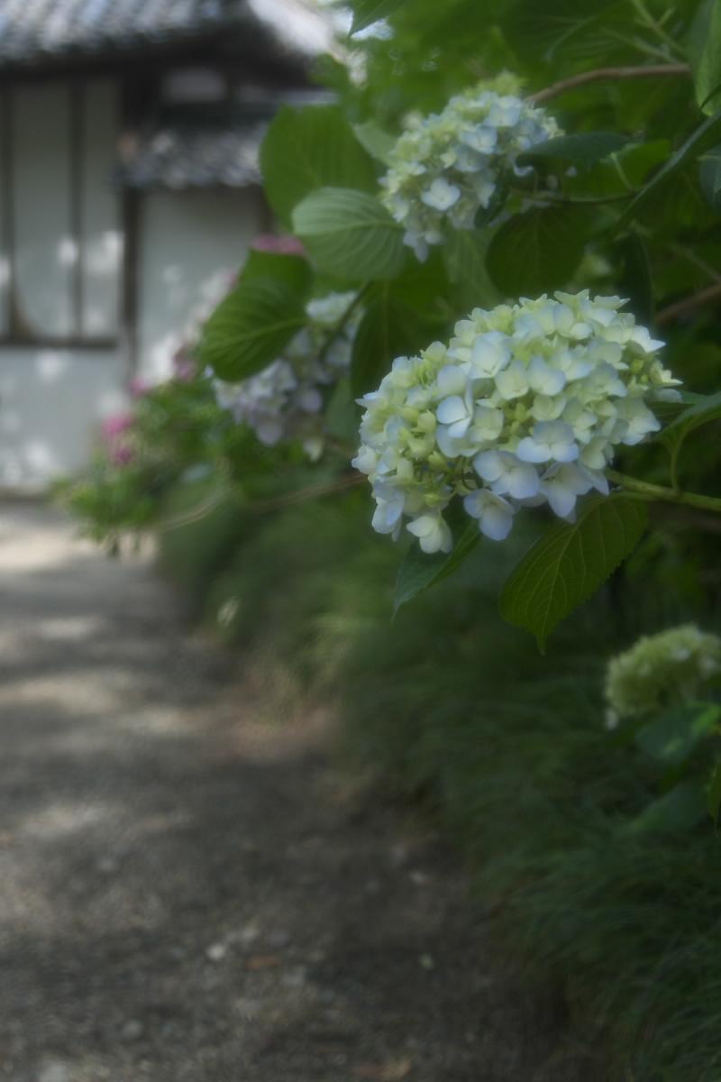 奈良 矢田寺 <紫陽花> 1_f0021869_2011328.jpg