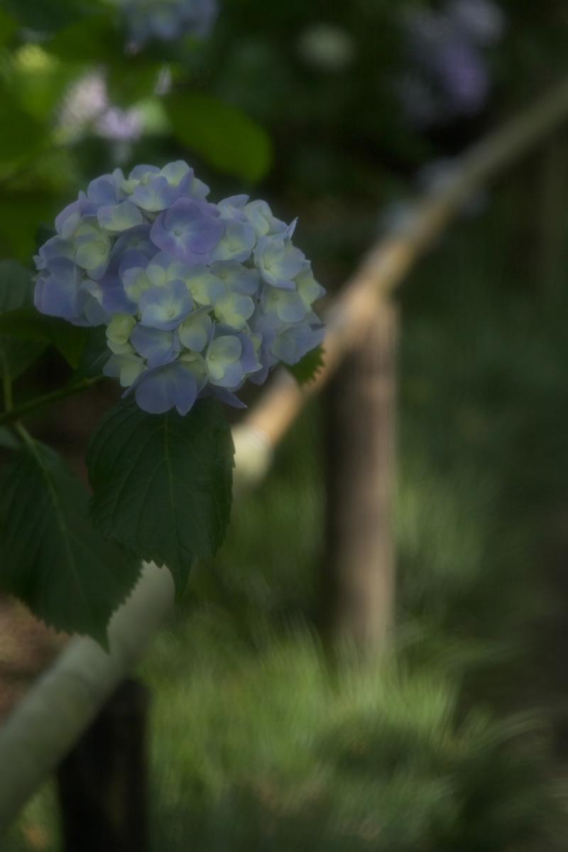 奈良 矢田寺 <紫陽花> 1_f0021869_2064266.jpg