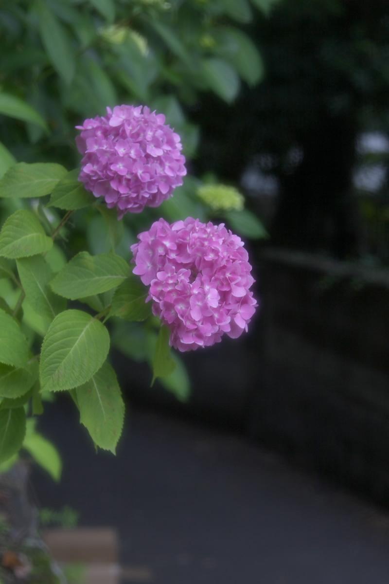 奈良 矢田寺 <紫陽花> 1_f0021869_2071588.jpg
