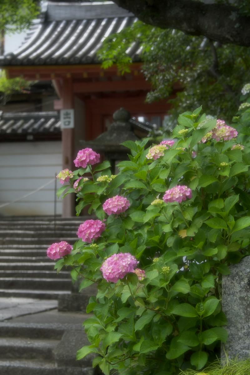 奈良 矢田寺 <紫陽花> 1_f0021869_207366.jpg