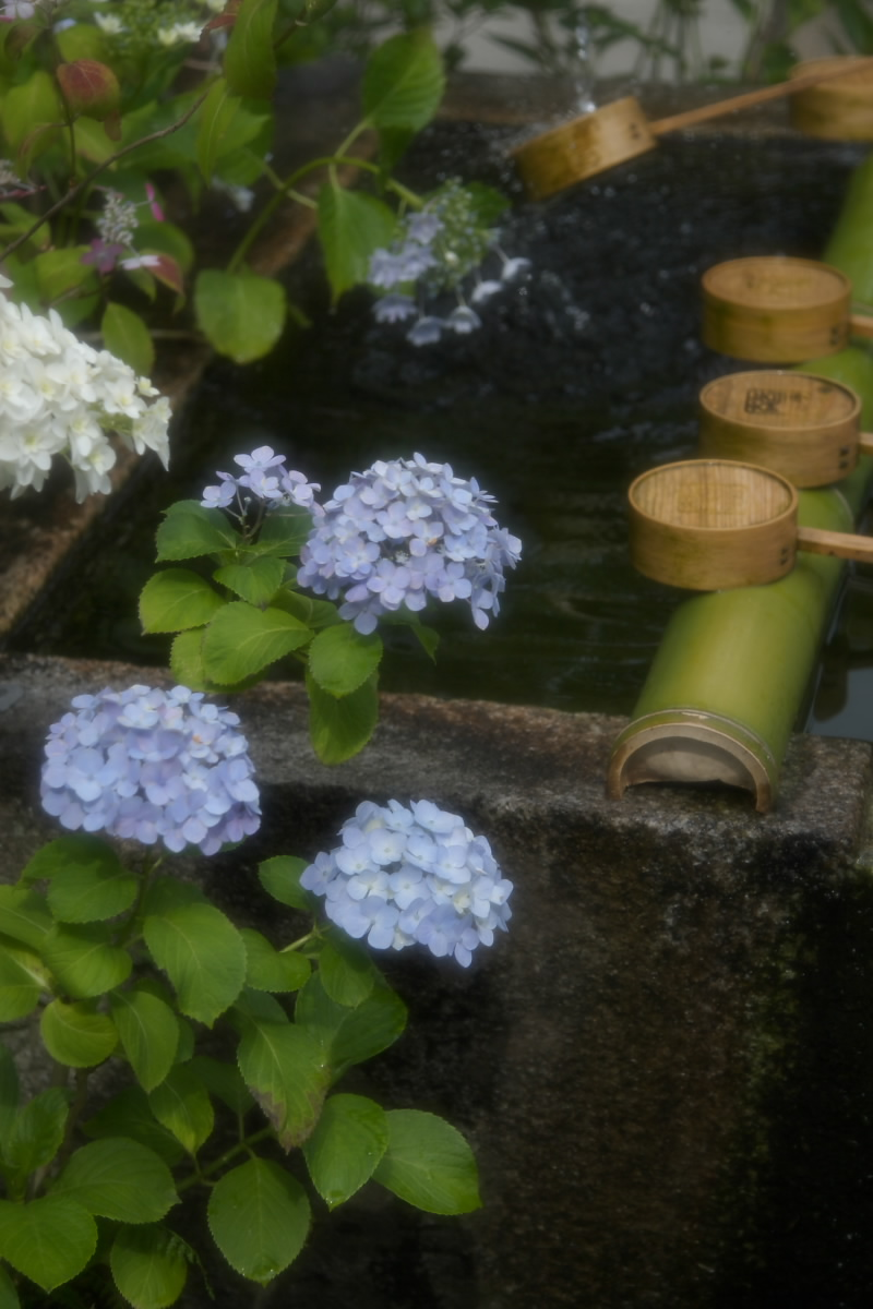 奈良 矢田寺 <紫陽花> 1_f0021869_2075489.jpg
