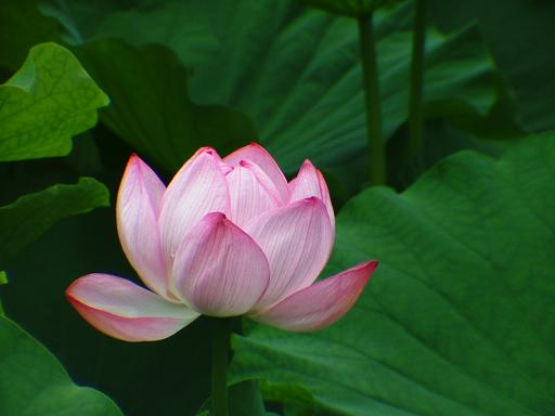 横浜・三渓園、蓮の花_d0123528_17252865.jpg