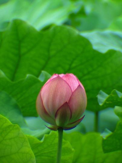 横浜・三渓園、蓮の花_d0123528_18361121.jpg