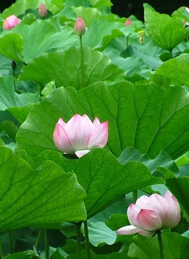 横浜・三渓園、蓮の花_d0123528_1841066.jpg