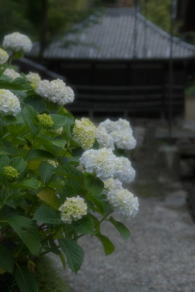 奈良 矢田寺 <紫陽花> 6_f0021869_9131919.jpg
