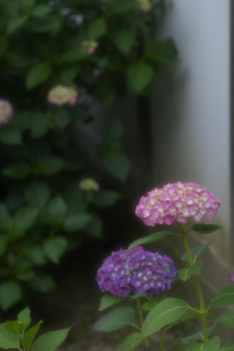 奈良 矢田寺 <紫陽花> 6_f0021869_9135555.jpg