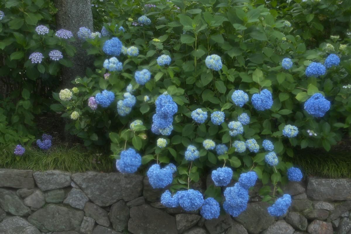 奈良 矢田寺 <紫陽花> 9_f0021869_9255243.jpg