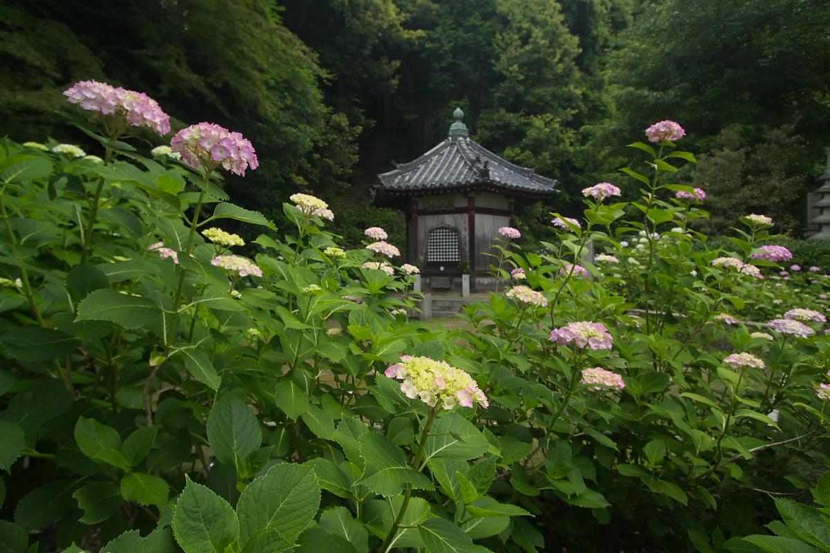 奈良 矢田寺 <紫陽花> 9_f0021869_927016.jpg