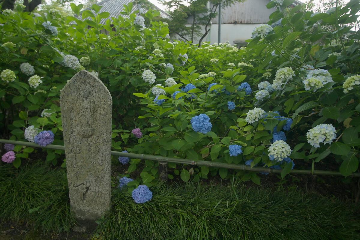 奈良 矢田寺 <紫陽花> 9_f0021869_9331391.jpg