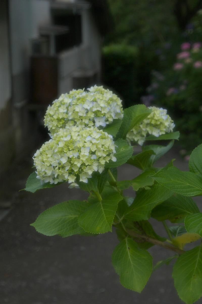 奈良 矢田寺 <紫陽花> 6_f0021869_993185.jpg