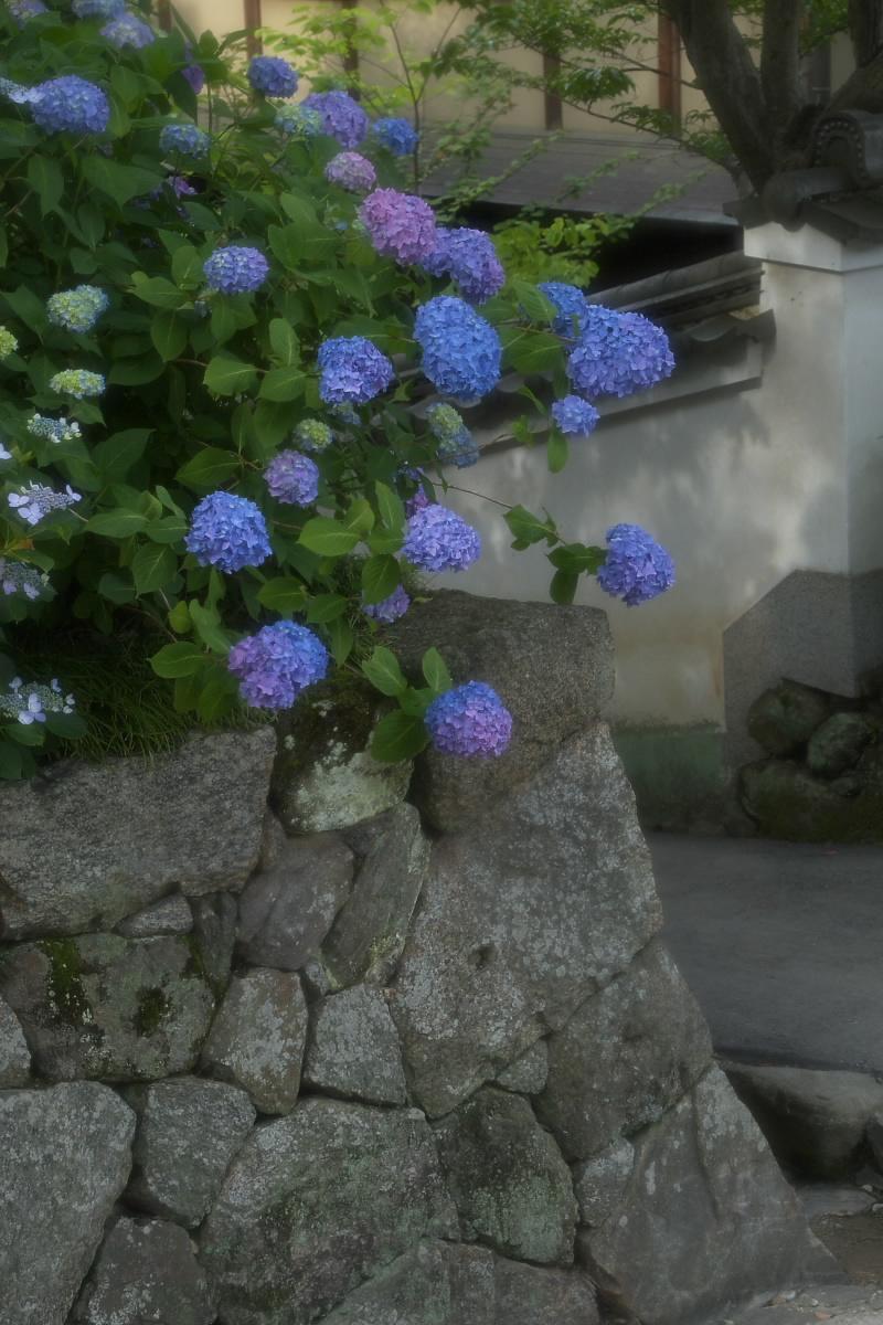 奈良 矢田寺 <紫陽花> 6_f0021869_995937.jpg